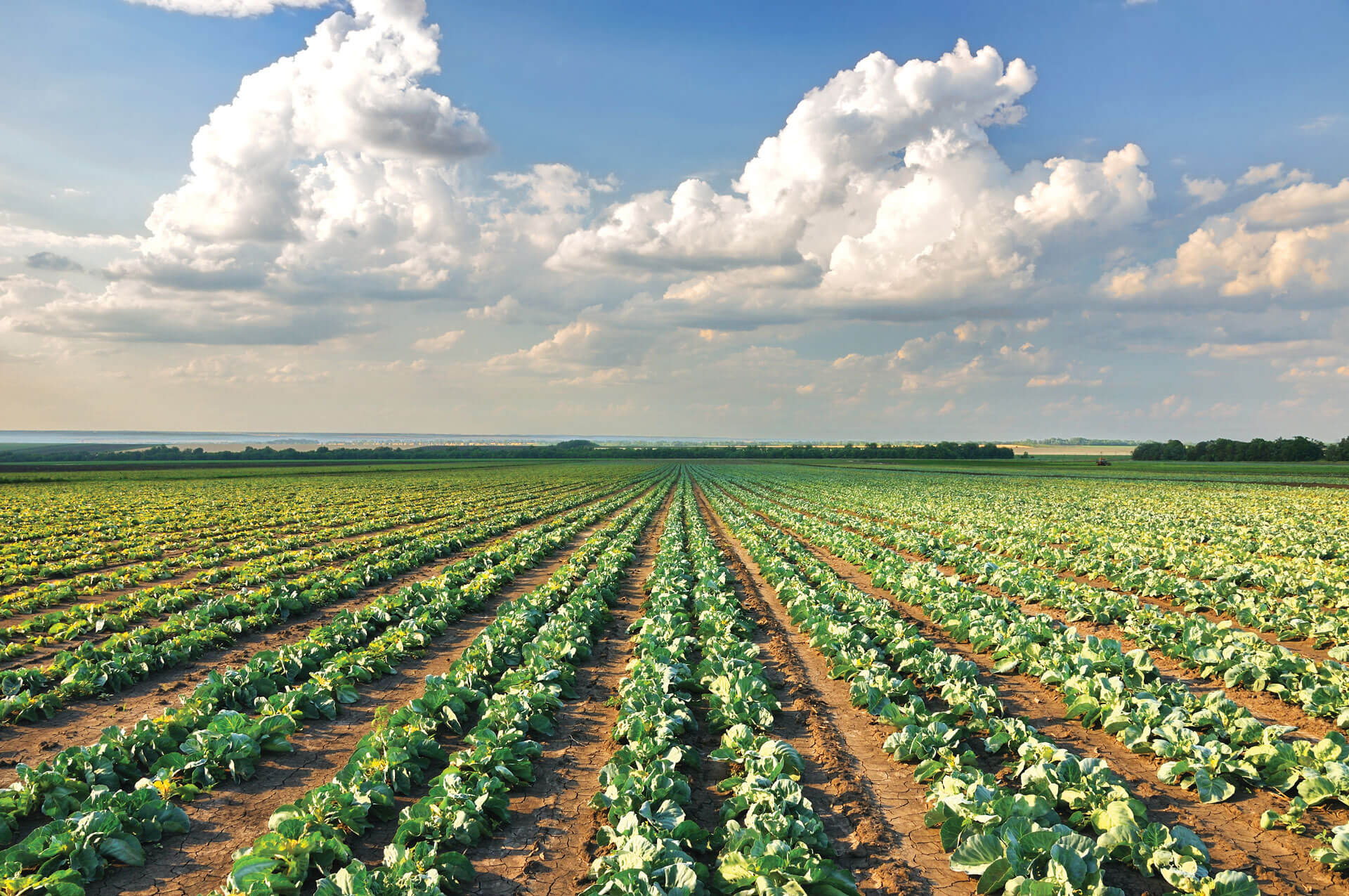 cabbage-field-photo-min